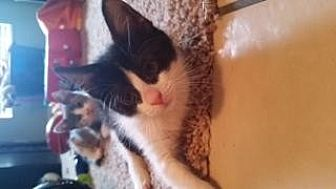 American Shorthair Cat for adoption in St. Cloud, Florida - Leia