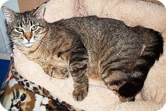 Domestic Shorthair Cat for adoption in Jackson, Mississippi - Kevin