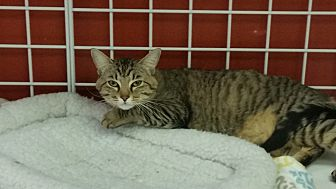 Domestic Shorthair Cat for adoption in Houston, Texas - KITTY KITTY