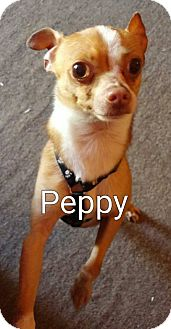 Chihuahua Mix Dog for adoption in Encinitas (San Diego), California - Peppy