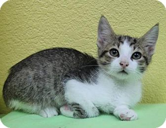 Domestic Shorthair Kitten for adoption in Benbrook, Texas - Elvis