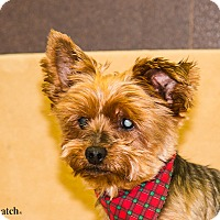 Adopt A Pet :: Flash - Ile-Perrot, QC