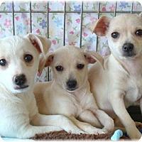 Adopt A Pet :: Ashlee - Las Vegas, NV