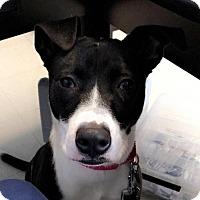 Adopt A Pet :: Maizey - Rockville, MD