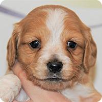 Adopt A Pet :: Cupcake - Agoura Hills, CA