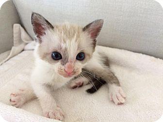 Siamese Kitten for adoption in Christiansted, Virgin Islands - Popsicle