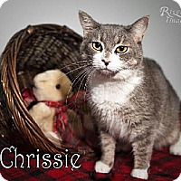 Domestic Mediumhair Cat for adoption in Fort Mill, South Carolina - Chrissie 4751