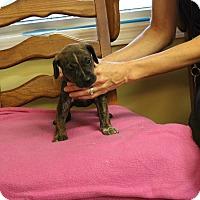 Adopt A Pet :: Brindie - Brattleboro, VT