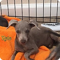 Adopt A Pet :: Rolo - Rosamond, CA