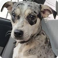 Adopt A Pet :: Cassidy - Austin, TX