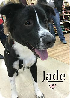 Collie/Shepherd (Unknown Type) Mix Dog for adoption in Northville, Michigan - Jade