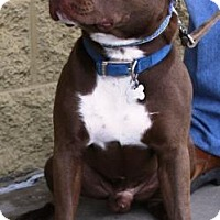 Pit Bull Terrier Mix Dog for adoption in Gilbert, Arizona - Copper