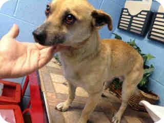 Dachshund/Chihuahua Mix Dog for adoption in Las Vegas, Nevada - Pineapple