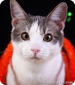 Domestic Shorthair Cat for adoption in Naples, Florida - Precious