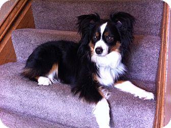 Australian Shepherd Dog for adoption in Minneapolis, Minnesota - Murphy