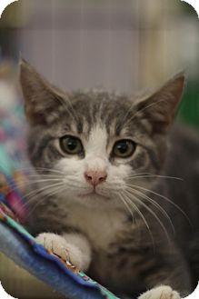 Domestic Shorthair Kitten for adoption in Sacramento, California - Joel