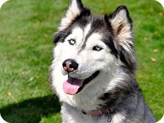 Siberian Husky Mix Dog for adoption in Great Falls, Montana - Meka