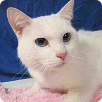American Shorthair Cat for adoption in Santa Monica, California - Tubby