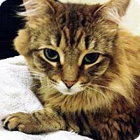 Domestic Mediumhair Cat for adoption in Austin, Texas - Gracie