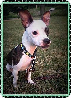 Rat Terrier/Boston Terrier Mix Dog for adoption in Sharon Center, Ohio - Keira