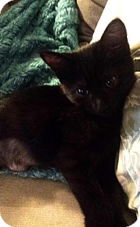 Domestic Shorthair Kitten for adoption in Savannah, Georgia - Garnet