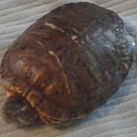 Adopt A Pet :: Fiona - Aurora, IL