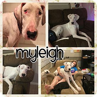 Great Dane Mix Dog for adoption in Lubbock, Texas - Myleigh