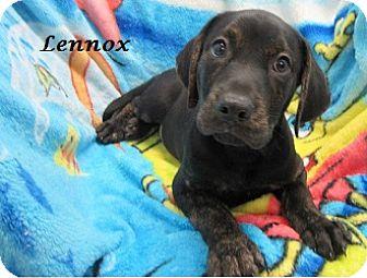 Labrador Retriever/Boxer Mix Puppy for adoption in Bartonsville, Pennsylvania - Lennox