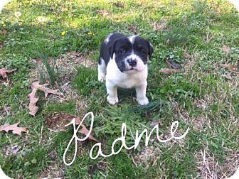 Rottweiler/Terrier (Unknown Type, Medium) Mix Puppy for adoption in Rowayton, Connecticut - 5 Weeek Old Rottie Mix Puppies