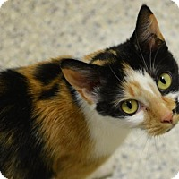 Calico Cat for adoption in Scituate, Massachusetts - Cheeze