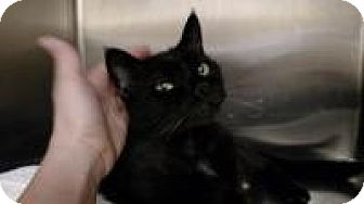 Domestic Shorthair Cat for adoption in Worcester, Massachusetts - Puma