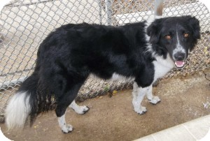 Border Collie Mix Dog for adoption in Lockhart, Texas - Pancho