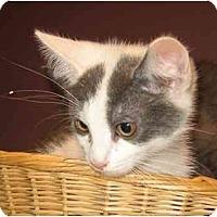 Adopt A Pet :: Kit - New York, NY