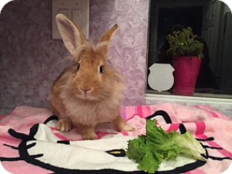Lionhead Mix for adoption in Fountain Valley, California - Lola