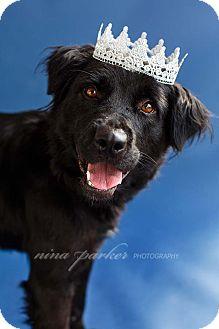 Flat-Coated Retriever/Retriever (Unknown Type) Mix Dog for adoption in Marietta, Georgia - Hope