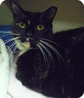 Calico Cat for adoption in Hamburg, New York - Bernadette