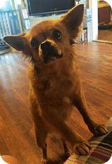 Pomeranian Mix Dog for adoption in Wichita Falls, Texas - Cricket