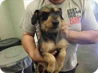 Terrier (Unknown Type, Small) Mix Dog for adoption in Encino, California - Scrappy