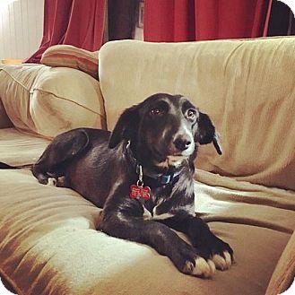Border Collie/Labrador Retriever Mix Dog for adoption in Salamanca, New York - Lacey