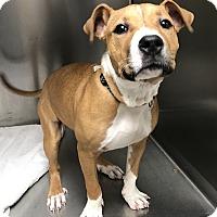 Adopt A Pet :: A - STELLA - Seattle, WA