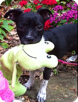 Chihuahua Mix Puppy for adoption in Fort Collins, Colorado - Juliet