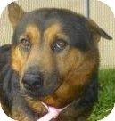 Chow Chow/Shepherd (Unknown Type) Mix Dog for adoption in Lincolnton, North Carolina - Katie