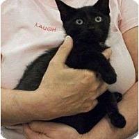 Adopt A Pet :: Flash - Reston, VA