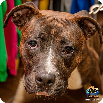 Boxer Mix Dog for adoption in Evansville, Indiana - Zale