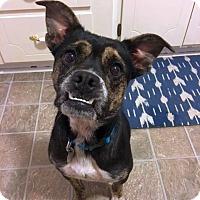 Adopt A Pet :: Perdita - Knoxville, TN