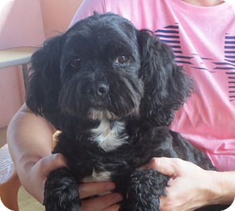 Lhasa Apso/Poodle (Miniature) Mix Dog for adoption in Allentown, Pennsylvania - Curly Joe