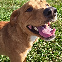 Retriever (Unknown Type) Mix Dog for adoption in Russellville, Kentucky - BoBo