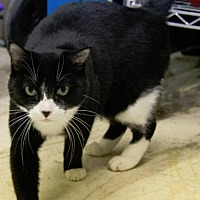 Domestic Shorthair Cat for adoption in Houston, Texas - BABIE