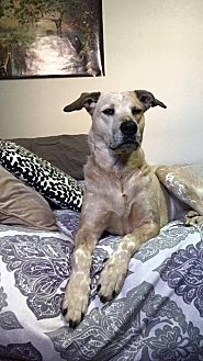Catahoula Leopard Dog/Australian Cattle Dog Mix Dog for adoption in Guelph, Ontario - Cajun