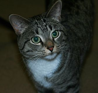 Domestic Shorthair Cat for adoption in Toms River, New Jersey - Bella